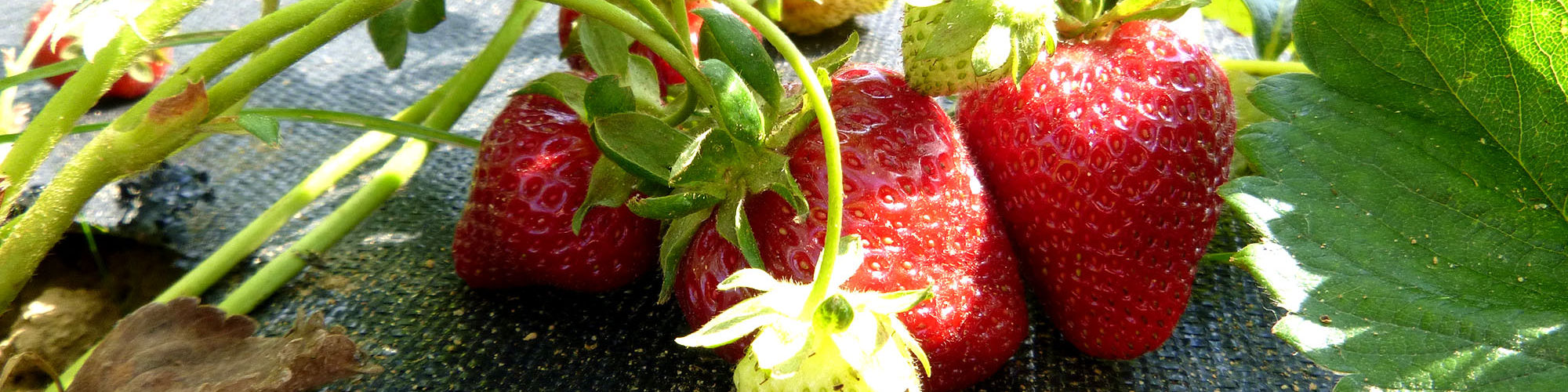 Strawberries grown on Full Sun Farm